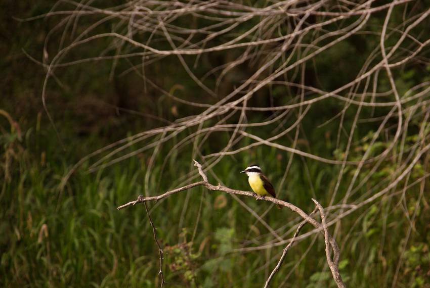 A Kisskadee perches at Resaca de la Palma, a World Birding Center Texas state park. Birding tourism, a huge industry in the Rio Grande Valley, could be affected by negative environmental impacts of the border wall.